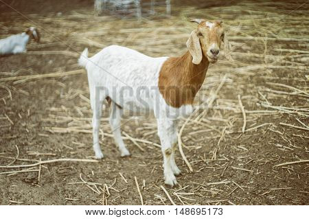 portrait of goat on a ground field ,selective focus at goat face,filtered vintage tone process image