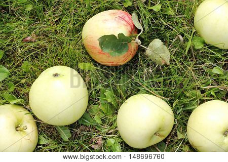 flat lay of the fallen apples on the grass top view / time to harvest