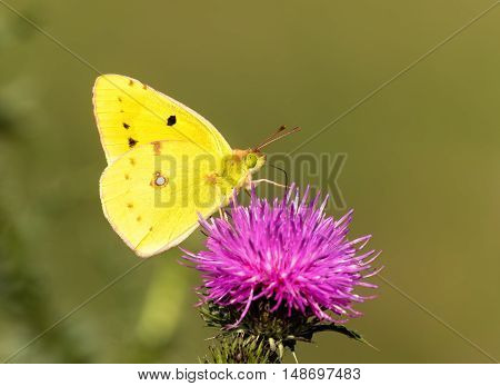 Golden Butterfly. Colias Hyale. Yellow Butterfly with golden eight. Macro with very shallow depth of field