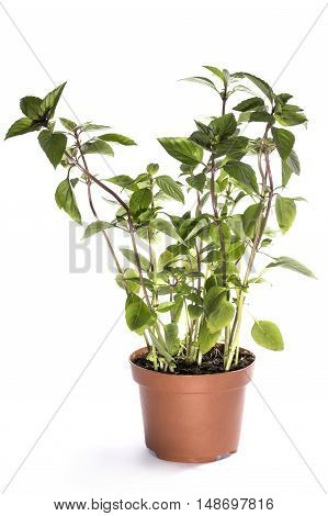 The bush of basil in a pot on a white background