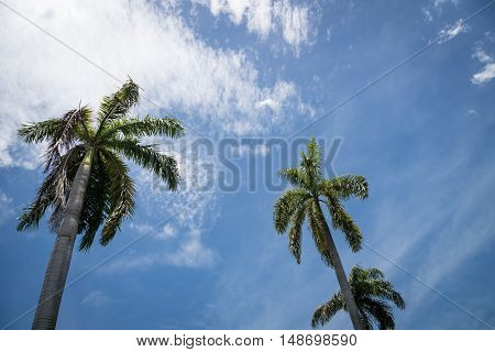 Palm trees against the blue sky background with clouds