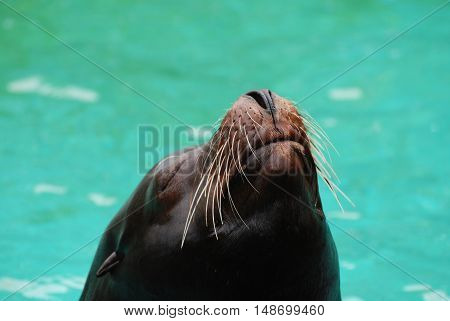 Fantastic face of a sea lion with his nose out of the water.
