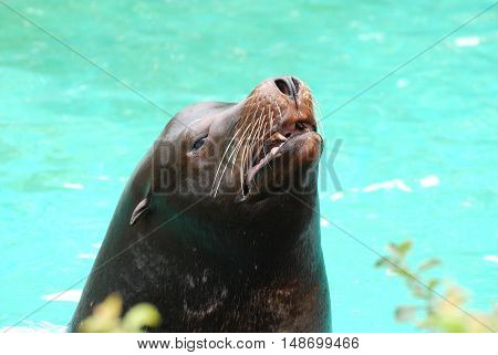 Sea lion with his mouth partially open so you can see his teeth.