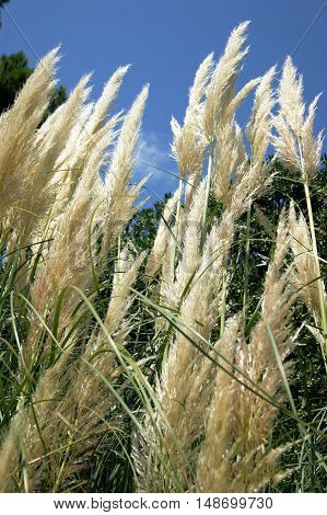 White tall panicles at the lush pampas grass