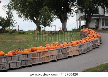 pumpkins in a crate lining a driveway