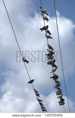 Flock of pigeons sitting on the power lines