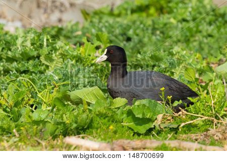 Eurasian Coot Coot Fulica atra searching for food in grass