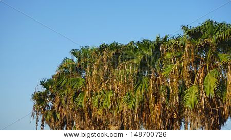 african palm tree on cape verde on sal island