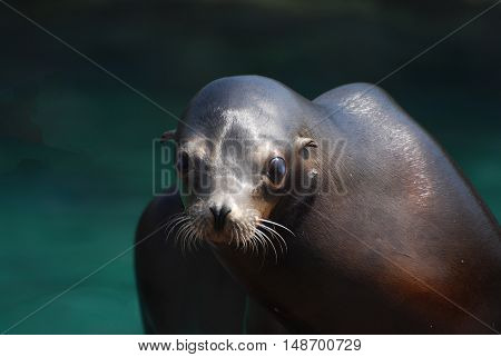 Great look of a sea lion beside the water's edge.