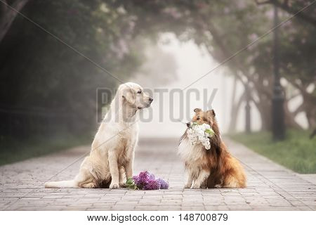 the love story of two dogs. The sheltie gives a bouquet of flowers Retriever