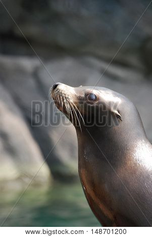 Side view of a young sea lion.