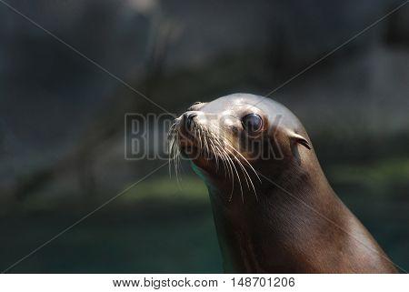 Adorable face of a young sea lion.