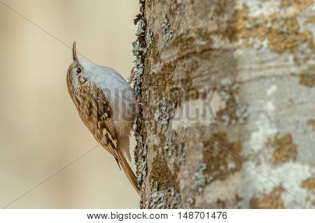 Eurasian treecreeper searching for food under the lichen. North Greece Europe.