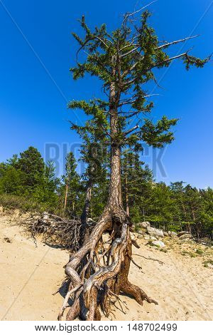 Lonely larch with scenic roots growing on the steep sandy slopes of the coast of lake Baikal.