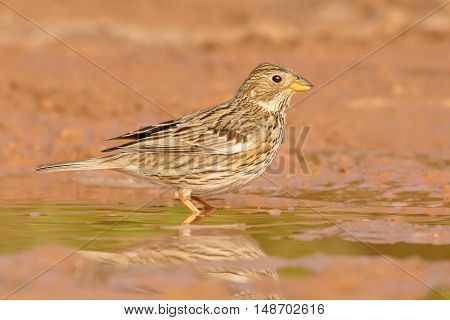 Closeup Corn Bunting drinking water on the ground