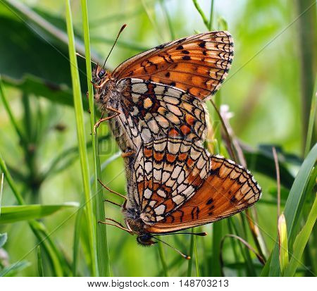 Two loving butterfly on the green grass