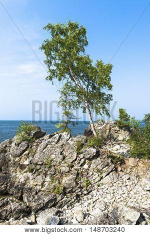 Young birch growing among stones on a rocky coast of lake Baikal.