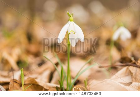 first spring flowers growing in the forest
