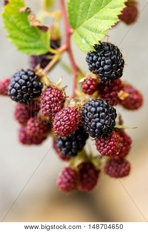 Bunch of ripe and unripe blackberries - selective focus copy space