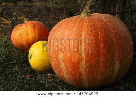 Ripe bright pumpkin lie on the green grass after harvest.