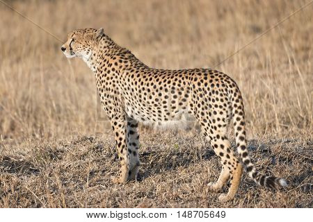 Adult cheetah looking for prey Masai Mara Kenya