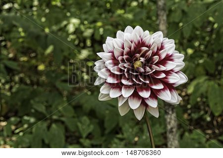 Dahlia Flower Which Is Part Of The Sunflower Family