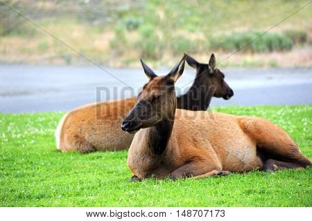 Two elk rest on the green grass in the Mammoth Hot Springs area of Yellowstone National Park in Wyoming.