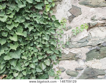 Ivy Hedera helix On A Medieval Wall