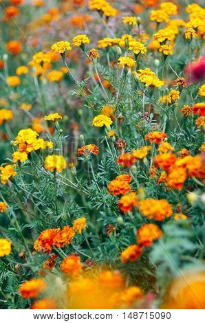 Plantation of Yellow and Orange Flowers in the Garden.Natural background of Marigold and Tagetes flowers in the meadow selective focus