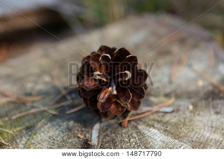 Pine cone on the ground - close up.