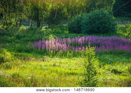 Blooming fireweed in the evening sun on the meadow near the pond