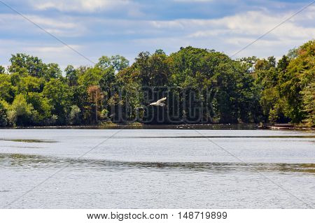 Great Blue Heron Flying In The Clouds