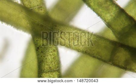 Accumulation of filamentous algae super macro. Spirogyra