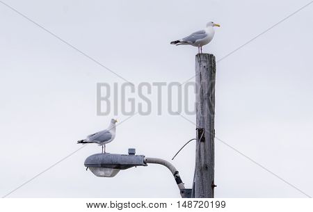 Two Western (Larus occidentalis) seagulls seem to appear to jockey for position atop a street light pole.  A common Atlantic Canada, East Coast sight.
