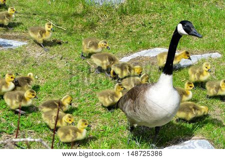 Canada Goose and goslings walking together on the grass