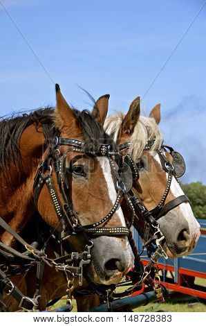 A beautiful team of horses are bridled and ready for work