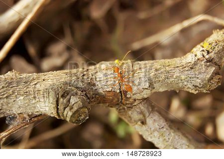 Red Ant, Several Climbs On The Twigs.