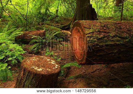 a picture of an exterior Pacific Northwest forest with a cut down conifer tree