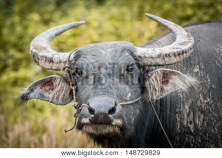 Buffalo is the famous animal for used in local agriculture in Thailand.