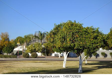 City grown range trees getting ready for harvesting in late December Phoenix streets Arizona