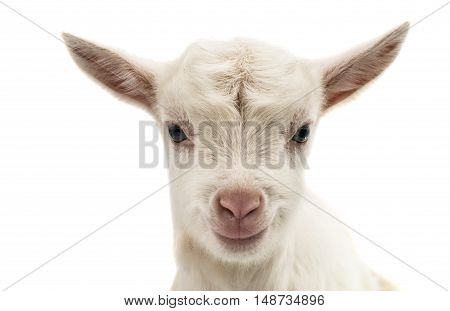 Portrait of a white goat standing in full length isolated on white background