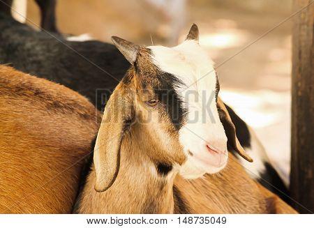 Single little brown domestic goat (Capra aegagrus hircus)