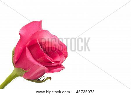 Single pink rose on white backgroundvalentine day