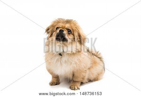 Pekingese looking little dog on white background