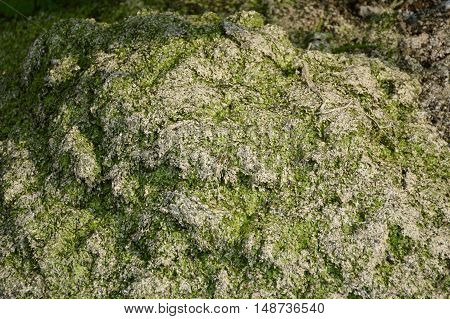 close up dry green duckweed on the ground