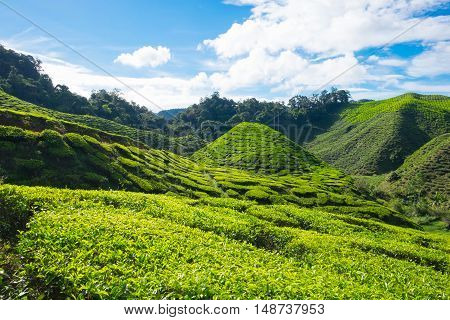 Slope green mountain of tea plantations with blue sky in Cameron Highlands Malaysia.