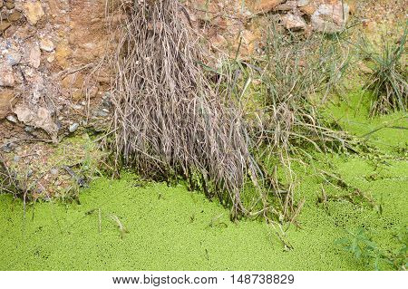 close up green duckweed and dirt soil