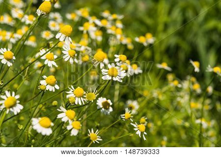 Medical daisy flower growing in the meadow
