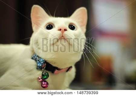 Siamese white cute cat  looking up something