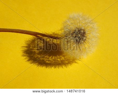 Blowball closeup on yellow background from above